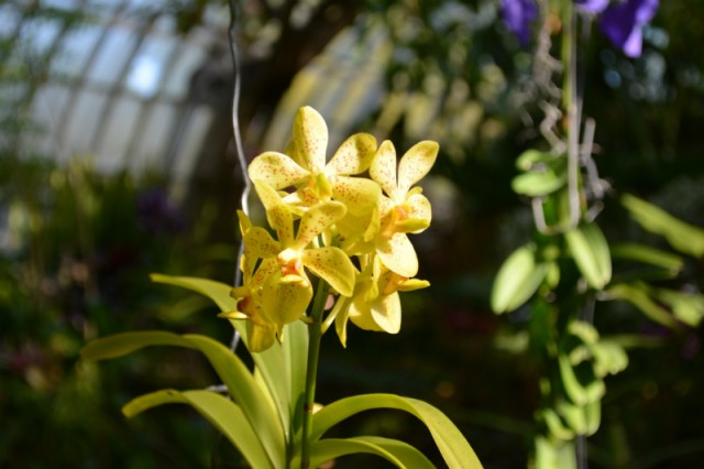Phipps Conservatory Yellow Orchid